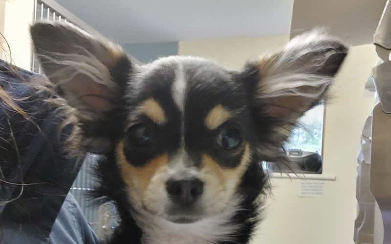 chihuahua at VetCW Colin Whiting fracture repair